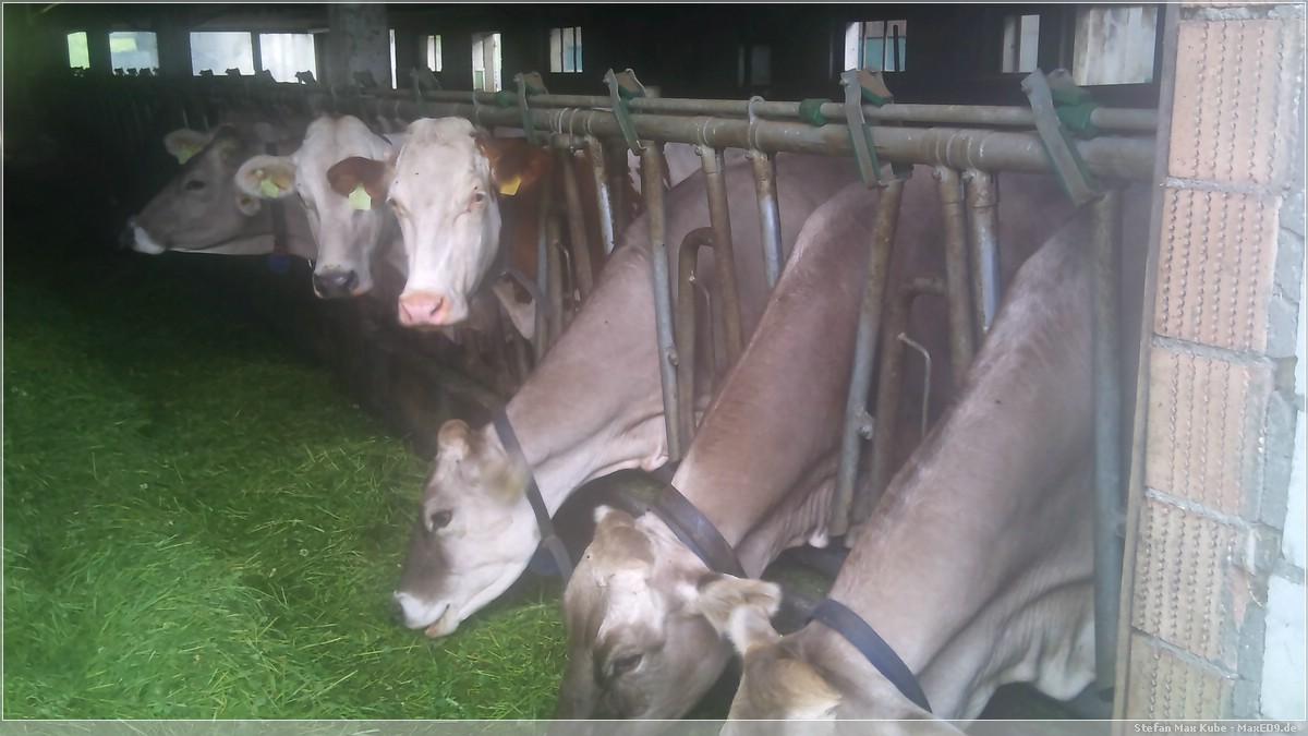 {kk} des Nachbars Kühe