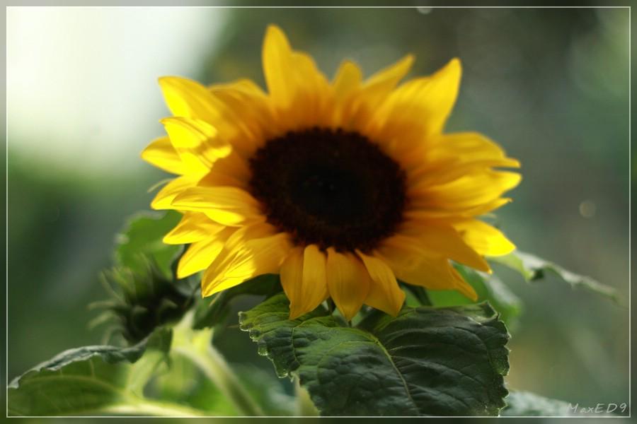 {ocsc} Sonnenblume