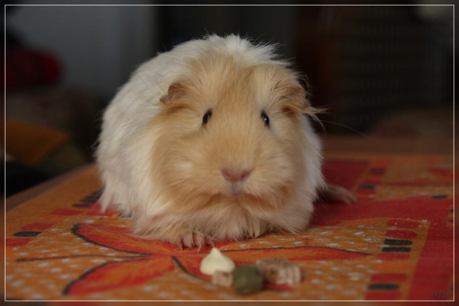 {nmb} Sheltie-Schwein
